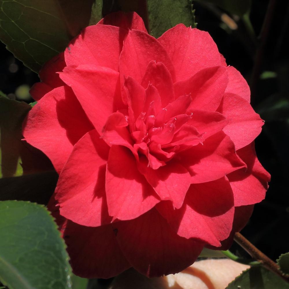Camellia rusticana 'Beni-Arajishi'