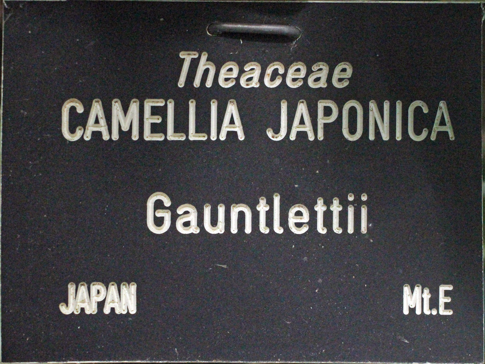 Camellia japonica 'Gauntlettii'