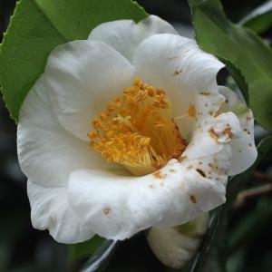 Camellia japonica 'Hakutsuru'