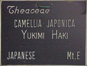 Camellia japonica 'Yukihaku'