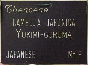Camellia japonica 'Yukimiguruma'