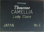 Camellia japonica 'Akashigata'