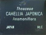 Camellia japonica 'Anemoniflora'