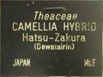 Camellia japonica 'Dewatairin' (Higo)