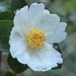 Camellia sasanqua 'Fukuzutsumi'