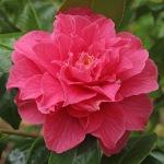 Camellia japonica 'Hanatachibana'