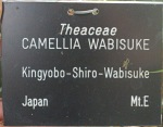 Camellia japonica 'Kingyoba-shiro-wabisuke' (Wabisuke)
