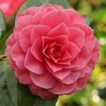 Camellia japonica 'Konronkoku'