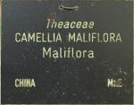 Camellia maliflora 'Maliflora'
