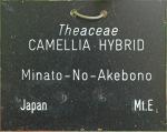 Camellia hybrid 'Minato-no-akebono'