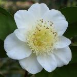 Camellia japonica 'Rogetsu'
