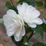 Camellia japonica 'Sabiniana'