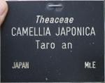 Camellia japonica 'Tarô'an'