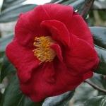 Camellia japonica 'Trebah Gardens'