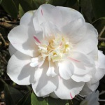 Camellia japonica 'Andromeda'
