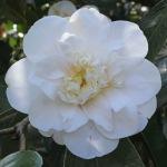 Camellia japonica 'Andromeda'