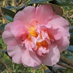 Camellia japonica 'Betty Cuthbert'