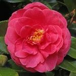 Camellia japonica 'Constance'