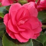 Camellia japonica 'Great Eastern'