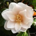 Camellia japonica 'Lilian Rickets'