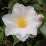 Camellia japonica 'Lilian Rickets'