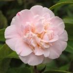 Camellia japonica 'Ardoch'