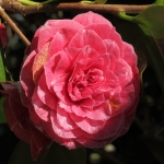 Camellia japonica 'Metallica'
