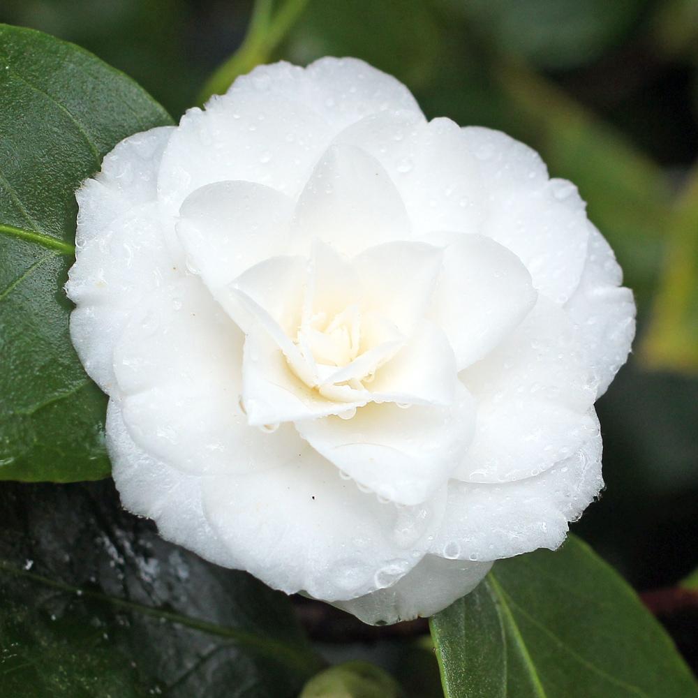 Camellia japonica 'Mrs Bell'