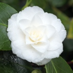 Camellia japonica 'Mrs Bell'