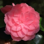 Camellia japonica 'Prince Frederick William'
