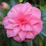 Camellia japonica 'Sheatheri'