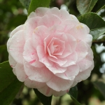 Camellia japonica 'William Bartlett'