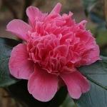 Camellia japonica 'Centenary'