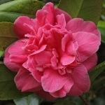 Camellia japonica 'Chandlers Victory'