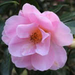 Camellia x williamsii 'Clarrie Fawcett'