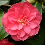 Camellia japonica 'Jean Lyne'