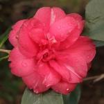 Camellia japonica 'Margaret Crozier'