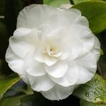 Camellia japonica 'Merrillees'