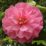Camellia x williamsii 'Joan Trehane'