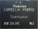 Camellia hybrid 'Scentuous'