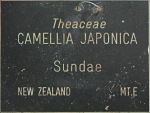 Camellia japonica 'Sundae'