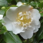Camellia japonica 'Angel'