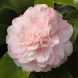 Camellia japonica 'Bella Romana' (5B-002)