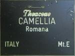 Camellia japonica 'Romana'