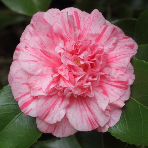 Camellia japonica 'Romana' (5B-003)