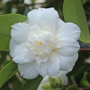 Camellia japonica 'Campsii Alba'
