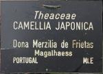 Camellia japonica 'Dona Herzilia e Freitas Magalhaes'