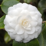 Camellia japonica 'Duchesse de Berry'