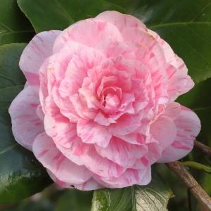 Camellia japonica 'Marguerite Gouillon'