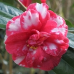 Camellia japonica 'Donckelaeri Improved'